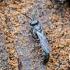 Vapsva - Trypoxylon sp. | Fotografijos autorius : Kazimieras Martinaitis | © Macrogamta.lt | Šis tinklapis priklauso bendruomenei kuri domisi makro fotografija ir fotografuoja gyvąjį makro pasaulį.