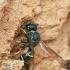 Vapsva - Odynerus spinipes | Fotografijos autorius : Gintautas Steiblys | © Macrogamta.lt | Šis tinklapis priklauso bendruomenei kuri domisi makro fotografija ir fotografuoja gyvąjį makro pasaulį.