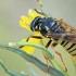 Vapsvinė žiedmusė - Temnostoma vespiforme | Fotografijos autorius : Gintautas Steiblys | © Macrogamta.lt | Šis tinklapis priklauso bendruomenei kuri domisi makro fotografija ir fotografuoja gyvąjį makro pasaulį.