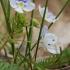Siūlinė veronika - Veronica filiformis | Fotografijos autorius : Gintautas Steiblys | © Macrogamta.lt | Šis tinklapis priklauso bendruomenei kuri domisi makro fotografija ir fotografuoja gyvąjį makro pasaulį.