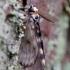 Vienuolis verpikas - Lymantria monacha | Fotografijos autorius : Zita Gasiūnaitė | © Macrogamta.lt | Šis tinklapis priklauso bendruomenei kuri domisi makro fotografija ir fotografuoja gyvąjį makro pasaulį.