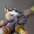 Viengubris kūgiavoris - Cyclosa conica ♀, subadult | Fotografijos autorius : Žilvinas Pūtys | © Macrogamta.lt | Šis tinklapis priklauso bendruomenei kuri domisi makro fotografija ir fotografuoja gyvąjį makro pasaulį.