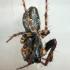 Viengubris kūgiavoris - Cyclosa conica, juv | Fotografijos autorius : Gintautas Steiblys | © Macrogamta.lt | Šis tinklapis priklauso bendruomenei kuri domisi makro fotografija ir fotografuoja gyvąjį makro pasaulį.