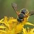 Vilnabitė - Anthidium manicatum   Fotografijos autorius : Gintautas Steiblys   © Macrogamta.lt   Šis tinklapis priklauso bendruomenei kuri domisi makro fotografija ir fotografuoja gyvąjį makro pasaulį.