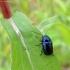 Violetinis paslėptagalvis - Cryptocephalus violaceus | Fotografijos autorius : Vitalii Alekseev | © Macrogamta.lt | Šis tinklapis priklauso bendruomenei kuri domisi makro fotografija ir fotografuoja gyvąjį makro pasaulį.