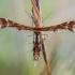 Viržinis pirštasparnis - Oxyptilus ericetorum | Fotografijos autorius : Oskaras Venckus | © Macrogamta.lt | Šis tinklapis priklauso bendruomenei kuri domisi makro fotografija ir fotografuoja gyvąjį makro pasaulį.
