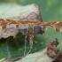 Viržinis pirštasparnis - Oxyptilus ericetorum | Fotografijos autorius : Žilvinas Pūtys | © Macrogamta.lt | Šis tinklapis priklauso bendruomenei kuri domisi makro fotografija ir fotografuoja gyvąjį makro pasaulį.