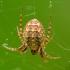 Smailiapilvis akuotvoris - Cercidia prominens   Fotografijos autorius : Vidas Brazauskas   © Macrogamta.lt   Šis tinklapis priklauso bendruomenei kuri domisi makro fotografija ir fotografuoja gyvąjį makro pasaulį.
