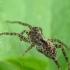 Šuolininkas - Pardosa sp. | Fotografijos autorius : Vidas Brazauskas | © Macrogamta.lt | Šis tinklapis priklauso bendruomenei kuri domisi makro fotografija ir fotografuoja gyvąjį makro pasaulį.