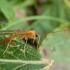 Vytis - Absyrtus vicinator ♀ | Fotografijos autorius : Žilvinas Pūtys | © Macrogamta.lt | Šis tinklapis priklauso bendruomenei kuri domisi makro fotografija ir fotografuoja gyvąjį makro pasaulį.