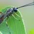 Vytis - Polyblastus varitarsus | Fotografijos autorius : Gintautas Steiblys | © Macrogamta.lt | Šis tinklapis priklauso bendruomenei kuri domisi makro fotografija ir fotografuoja gyvąjį makro pasaulį.