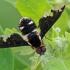 Zvimbeklė - Hemipenthes maura | Fotografijos autorius : Gintautas Steiblys | © Macrogamta.lt | Šis tinklapis priklauso bendruomenei kuri domisi makro fotografija ir fotografuoja gyvąjį makro pasaulį.