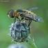 Zvimbeklė - Villa cingulata ♂ | Fotografijos autorius : Žilvinas Pūtys | © Macrogamta.lt | Šis tinklapis priklauso bendruomenei kuri domisi makro fotografija ir fotografuoja gyvąjį makro pasaulį.