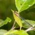 Elegantiškoji strėliukė (Ischnura elegans), patelė | Fotografijos autorius : Aleksandras Naryškin | © Macrogamta.lt | Šis tinklapis priklauso bendruomenei kuri domisi makro fotografija ir fotografuoja gyvąjį makro pasaulį.