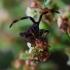 Arkliarūkštinės blakės nimfa | Fotografijos autorius : Irenėjas Urbonavičius | © Macrogamta.lt | Šis tinklapis priklauso bendruomenei kuri domisi makro fotografija ir fotografuoja gyvąjį makro pasaulį.