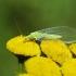 Auksaakė - Chrysopidae | Fotografijos autorius : Irenėjas Urbonavičius | © Macrogamta.lt | Šis tinklapis priklauso bendruomenei kuri domisi makro fotografija ir fotografuoja gyvąjį makro pasaulį.