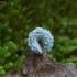 Pjūklelis - Eriocampa ovata, lerva | Fotografijos autorius : Vytautas Gluoksnis | © Macrogamta.lt | Šis tinklapis priklauso bendruomenei kuri domisi makro fotografija ir fotografuoja gyvąjį makro pasaulį.