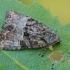 Dvispalvis stiebinukas - Mesoligia furuncula | Fotografijos autorius : Gintautas Steiblys | © Macrogamta.lt | Šis tinklapis priklauso bendruomenei kuri domisi makro fotografija ir fotografuoja gyvąjį makro pasaulį.