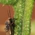 Įvairiaspalvė žolblakė - Lygus rugulipennis | Fotografijos autorius : Ramunė Vakarė | © Macrogamta.lt | Šis tinklapis priklauso bendruomenei kuri domisi makro fotografija ir fotografuoja gyvąjį makro pasaulį.