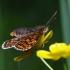 Paprastoji šaškytė - Melitaea athalia | Fotografijos autorius : Irenėjas Urbonavičius | © Macrogamta.lt | Šis tinklapis priklauso bendruomenei kuri domisi makro fotografija ir fotografuoja gyvąjį makro pasaulį.