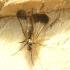 Snapmusė - Rhamphomyia marginata | Fotografijos autorius : Vytautas Tamutis | © Macrogamta.lt | Šis tinklapis priklauso bendruomenei kuri domisi makro fotografija ir fotografuoja gyvąjį makro pasaulį.