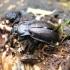 Grūdmenė - Ophiocordyceps entomorrhiza | Fotografijos autorius : Vytautas Tamutis | © Macrogamta.lt | Šis tinklapis priklauso bendruomenei kuri domisi makro fotografija ir fotografuoja gyvąjį makro pasaulį.