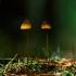 Oranžiškoji šalmabudė - Mycena aurantiomarginata | Fotografijos autorius : Irenėjas Urbonavičius | © Macrogamta.lt | Šis tinklapis priklauso bendruomenei kuri domisi makro fotografija ir fotografuoja gyvąjį makro pasaulį.