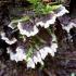 Žeminis karpininkas - Thelephora terrestris | Fotografijos autorius : Romas Ferenca | © Macrogamta.lt | Šis tinklapis priklauso bendruomenei kuri domisi makro fotografija ir fotografuoja gyvąjį makro pasaulį.