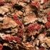 Raudonspuogis - Nectria coccinea  | Fotografijos autorius : Ramunė Vakarė | © Macrogamta.lt | Šis tinklapis priklauso bendruomenei kuri domisi makro fotografija ir fotografuoja gyvąjį makro pasaulį.