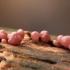 Aukšliataurė - Ascocoryne sp. | Fotografijos autorius : Ramunė Vakarė | © Macrogamta.lt | Šis tinklapis priklauso bendruomenei kuri domisi makro fotografija ir fotografuoja gyvąjį makro pasaulį.