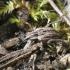Gvazdikinis lapinukas - Hypera arator | Fotografijos autorius : Vytautas Gluoksnis | © Macrogamta.lt | Šis tinklapis priklauso bendruomenei kuri domisi makro fotografija ir fotografuoja gyvąjį makro pasaulį.