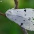 Baltasis strėlinukas - Acronicta leporina   Fotografijos autorius : Gintautas Steiblys   © Macrogamta.lt   Šis tinklapis priklauso bendruomenei kuri domisi makro fotografija ir fotografuoja gyvąjį makro pasaulį.