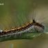 Tridantis strėlinukas - Acronicta tridens    Fotografijos autorius : Gintautas Steiblys   © Macrogamta.lt   Šis tinklapis priklauso bendruomenei kuri domisi makro fotografija ir fotografuoja gyvąjį makro pasaulį.