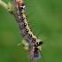 Tridantis strėlinukas - Acronicta tridens, vikšras | Fotografijos autorius : Gintautas Steiblys | © Macrogamta.lt | Šis tinklapis priklauso bendruomenei kuri domisi makro fotografija ir fotografuoja gyvąjį makro pasaulį.
