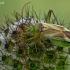 Liucerninė žolblakė - Adelphocoris lineolatus  | Fotografijos autorius : Gintautas Steiblys | © Macrogamta.lt | Šis tinklapis priklauso bendruomenei kuri domisi makro fotografija ir fotografuoja gyvąjį makro pasaulį.