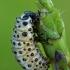 Tuopinis gluosninukas - Chrysomela populi, lerva | Fotografijos autorius : Gintautas Steiblys | © Macrogamta.lt | Šis tinklapis priklauso bendruomenei kuri domisi makro fotografija ir fotografuoja gyvąjį makro pasaulį.