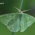 Smaragdinis žaliasprindis - Antonechloris smaragdaria  | Fotografijos autorius : Gintautas Steiblys | © Macrogamta.lt | Šis tinklapis priklauso bendruomenei kuri domisi makro fotografija ir fotografuoja gyvąjį makro pasaulį.
