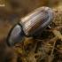 Afodijus - Melinopterus prodromus    Fotografijos autorius : Gintautas Steiblys   © Macrogamta.lt   Šis tinklapis priklauso bendruomenei kuri domisi makro fotografija ir fotografuoja gyvąjį makro pasaulį.