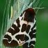 Keršoji meškutė - Arctia caja  | Fotografijos autorius : Gintautas Steiblys | © Macrogamta.lt | Šis tinklapis priklauso bendruomenei kuri domisi makro fotografija ir fotografuoja gyvąjį makro pasaulį.