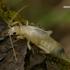Paprastoji auslinda - Forficula auricularia, nimfa  | Fotografijos autorius : Gintautas Steiblys | © Macrogamta.lt | Šis tinklapis priklauso bendruomenei kuri domisi makro fotografija ir fotografuoja gyvąjį makro pasaulį.