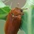 Avietinukas - Byturus ochraceus  | Fotografijos autorius : Gintautas Steiblys | © Macrogamta.lt | Šis tinklapis priklauso bendruomenei kuri domisi makro fotografija ir fotografuoja gyvąjį makro pasaulį.