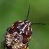 Rausvasparnė skydblakė - Carpocoris purpureipennis juv. | Fotografijos autorius : Gintautas Steiblys | © Macrogamta.lt | Šis tinklapis priklauso bendruomenei kuri domisi makro fotografija ir fotografuoja gyvąjį makro pasaulį.