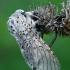 Didysis dviuodegis - Cerura vinula | Fotografijos autorius : Gintautas Steiblys | © Macrogamta.lt | Šis tinklapis priklauso bendruomenei kuri domisi makro fotografija ir fotografuoja gyvąjį makro pasaulį.