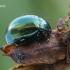 Įvairiaspalvis puošnys - Chrysolina varians  | Fotografijos autorius : Gintautas Steiblys | © Macrogamta.lt | Šis tinklapis priklauso bendruomenei kuri domisi makro fotografija ir fotografuoja gyvąjį makro pasaulį.