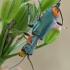 Pūsliavabalis - Clanoptilus marginellus    Fotografijos autorius : Gintautas Steiblys   © Macrogamta.lt   Šis tinklapis priklauso bendruomenei kuri domisi makro fotografija ir fotografuoja gyvąjį makro pasaulį.