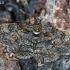 Pavasarinis žievėsprindis - Cleora cinctaria | Fotografijos autorius : Gintautas Steiblys | © Macrogamta.lt | Šis tinklapis priklauso bendruomenei kuri domisi makro fotografija ir fotografuoja gyvąjį makro pasaulį.