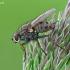 Tigrinė cenozija - Coenosia tigrina | Fotografijos autorius : Gintautas Steiblys | © Macrogamta.lt | Šis tinklapis priklauso bendruomenei kuri domisi makro fotografija ir fotografuoja gyvąjį makro pasaulį.
