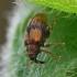 Šokliastraublis - Rhynchaenus xylostei (=lonicerae)   Fotografijos autorius : Gintautas Steiblys   © Macrogamta.lt   Šis tinklapis priklauso bendruomenei kuri domisi makro fotografija ir fotografuoja gyvąjį makro pasaulį.
