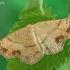 Taškuotasis taškasprindis - Cyclophora punctaria | Fotografijos autorius : Gintautas Steiblys | © Macrogamta.lt | Šis tinklapis priklauso bendruomenei kuri domisi makro fotografija ir fotografuoja gyvąjį makro pasaulį.