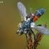 Dygliamusė - Cylindromyia auriceps/interrupta | Fotografijos autorius : Gintautas Steiblys | © Macrogamta.lt | Šis tinklapis priklauso bendruomenei kuri domisi makro fotografija ir fotografuoja gyvąjį makro pasaulį.
